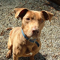American Staffordshire Terrier Mix Dog for adoption in Rocky Point, North Carolina - Goochie