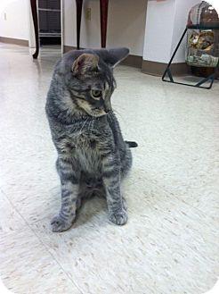 Domestic Shorthair Kitten for adoption in Trevose, Pennsylvania - Beetle