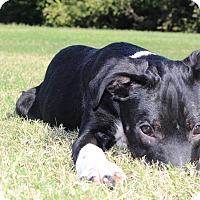 Adopt A Pet :: Boots - Dallas, TX