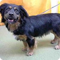 Adopt A Pet :: Corgi Mix Ml - Lomita, CA