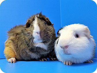 Guinea Pig for adoption in Lewisville, Texas - Hepburn and Bill