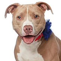 Adopt A Pet :: Blue - Santa Monica, CA