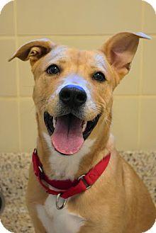 Shepherd (Unknown Type) Mix Dog for adoption in Aiken, South Carolina - Rhondo
