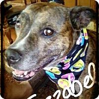 Catahoula Leopard Dog/Boxer Mix Dog for adoption in Palm Bay, Florida - Jezzabel