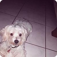 Adopt A Pet :: SNOWBALL - Hollywood, FL