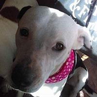 Adopt A Pet :: Lulu - Lab Hound Mix - North Creek, NY