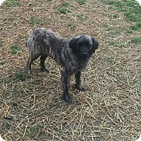 Adopt A Pet :: Brangelina - New Oxford, PA