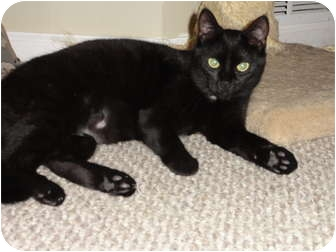 American Shorthair Cat for adoption in Barnegat, New Jersey - Raven & Midnight