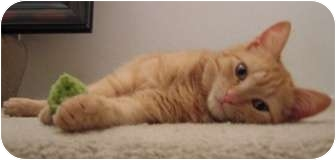 Domestic Shorthair Cat for adoption in North Highlands, California - Andie