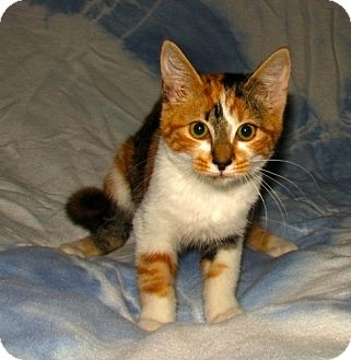 Domestic Shorthair Kitten for adoption in Norwich, New York - Eva