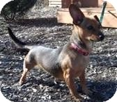 Dachshund Mix Dog for adoption in Jackson, Michigan - Lucy