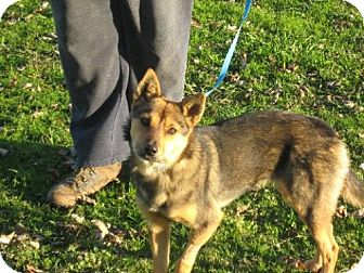 Pomeranian/Sheltie, Shetland Sheepdog Mix Dog for adoption in Salem, New Hampshire - Fran