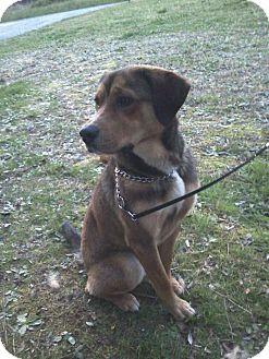 German Shepherd Dog/Labrador Retriever Mix Dog for adoption in Lancaster, Virginia - Dixon