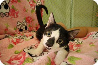 Domestic Shorthair Kitten for adoption in Fountain Hills, Arizona - LANCELOT
