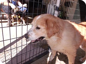 Golden Retriever Mix Dog for adoption in Rocky Mount, North Carolina - Jeremy