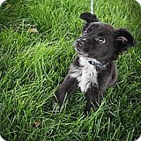 Adopt A Pet :: Lotus - Broomfield, CO