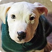 Adopt A Pet :: Bitz - Reisterstown, MD