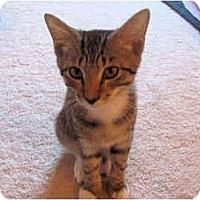 Adopt A Pet :: Dash - Colmar, PA