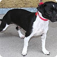 Adopt A Pet :: Beckett - Gilbert, AZ