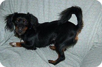 Dachshund/Chihuahua Mix Dog for adoption in Hazard, Kentucky - Oscar