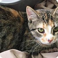 Domestic Shorthair Cat for adoption in Manteo, North Carolina - Winnie