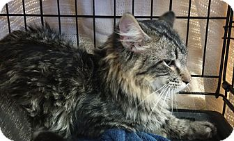 Domestic Mediumhair Cat for adoption in Owatonna, Minnesota - Frazier