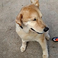Shiba Inu Mix Dog for adoption in Lithia, Florida - RAQUEL-16 St Pete