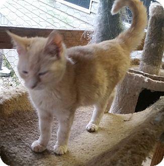 Domestic Mediumhair Cat for adoption in Bronson, Florida - Dixie