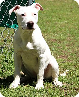 American Pit Bull Terrier Mix Puppy for adoption in Glastonbury, Connecticut - Sadie