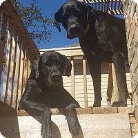 Adopt A Pet :: Gracie - Brattleboro, VT