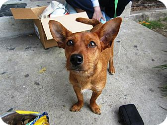 Chihuahua/Dachshund Mix Dog for adoption in Oceanside, California - Coco