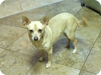 Chihuahua Dog for adoption in Winder, Georgia - Buffy
