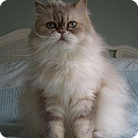 Adopt A Pet :: Izzy (front declawed) - Beverly Hills, CA