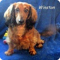 Adopt A Pet :: Winston - Chandler, AZ