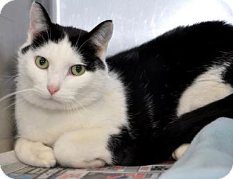 Domestic Shorthair Cat for adoption in Northbrook, Illinois - Mickie