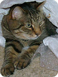 American Shorthair Cat for adoption in Mobile, Alabama - Sasah