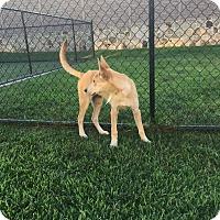 Adopt A Pet :: Sitka (fostered in TX) - Cranston, RI