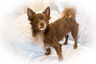 Chihuahua/Pomeranian Mix Dog for adoption in Santa Clara, California - Louie-ADOPTED