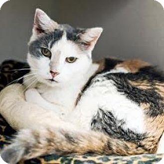 Calico Cat for adoption in Denver, Colorado - Isabella