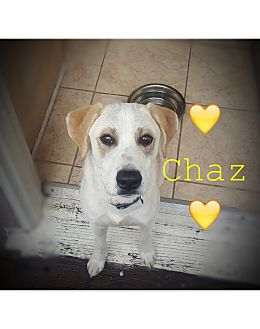 Setter (Unknown Type)/Shepherd (Unknown Type) Mix Puppy for adoption in Los Angeles, California - Chaz