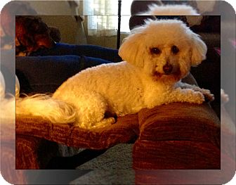 Bichon Frise Dog for adoption in Tulsa, Oklahoma - Adopted!!Oliver - N. CA