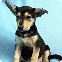 Adopt A Pet :: CARA - Westminster, CO