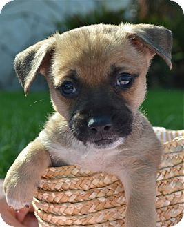 Cairn Terrier/Chihuahua Mix Puppy for adoption in Los Angeles, California - Jasper