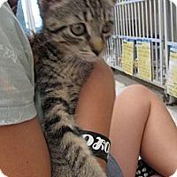 Adopt A Pet :: Maestro - Riverhead, NY