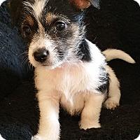 Adopt A Pet :: Stevie-ADOPTION PENDING - Bridgeton, MO