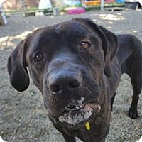 Mastiff Mix Dog for adoption in Lorain, Ohio - Osiris