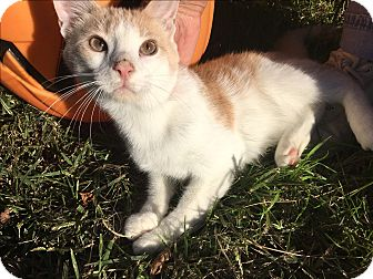 Domestic Shorthair Kitten for adoption in Baltimore, Maryland - creamsicle