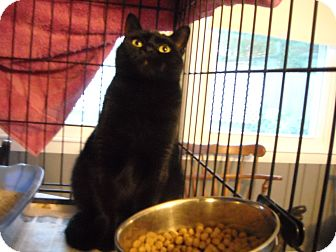 Domestic Shorthair Cat for adoption in Riverside, Rhode Island - Erin