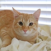 Domestic Shorthair Cat for adoption in Euless, Texas - Frankie