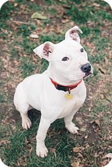 Terrier (Unknown Type, Medium)/Pit Bull Terrier Mix Puppy for adoption in Cleveland, Ohio - Acorn